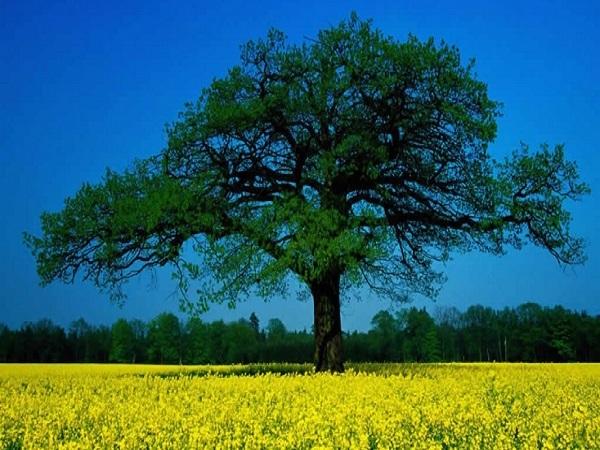 ağaç testi